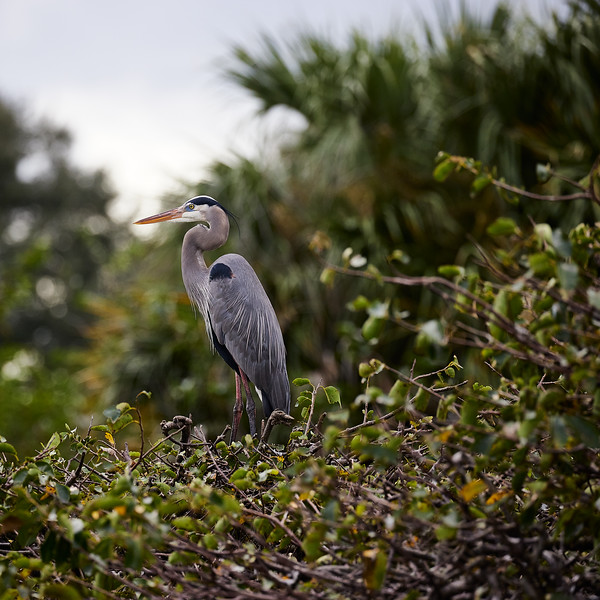 Great Blue Heron #5