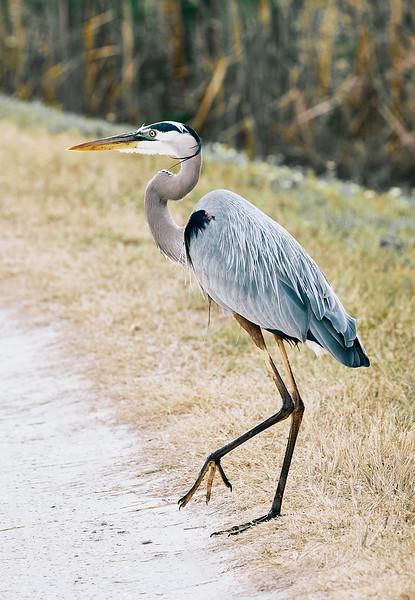 Great Blue Heron #8
