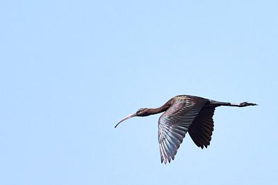 Glossy Ibis #2