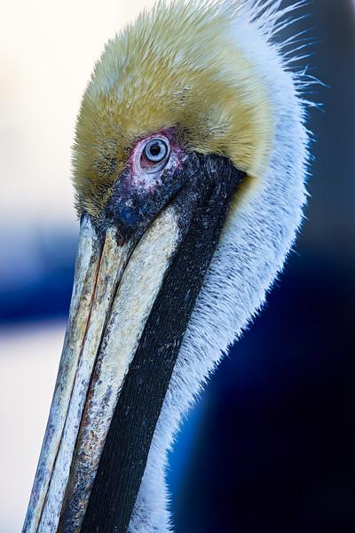 Brown Pelican Portrait #7