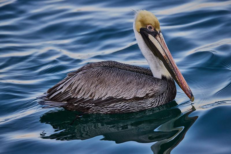 Brown Pelican in Water