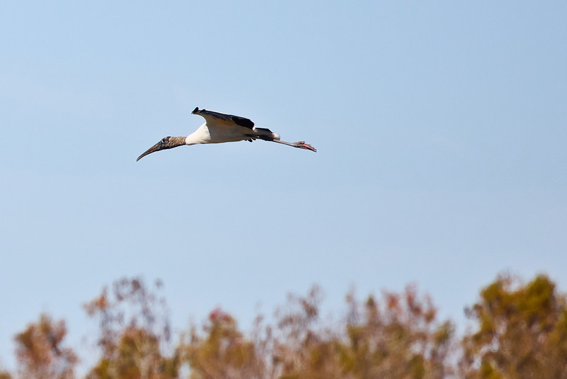 Wood Stork #2
