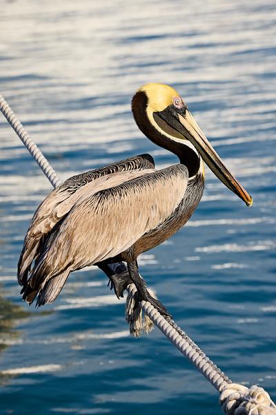 Pelican on Rope #1