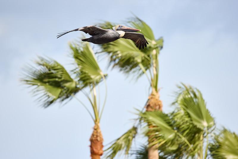 Brown Pelican  #2