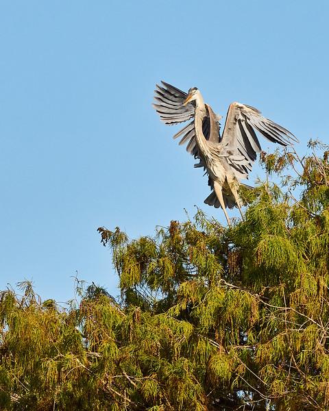Great Blue Heron #3