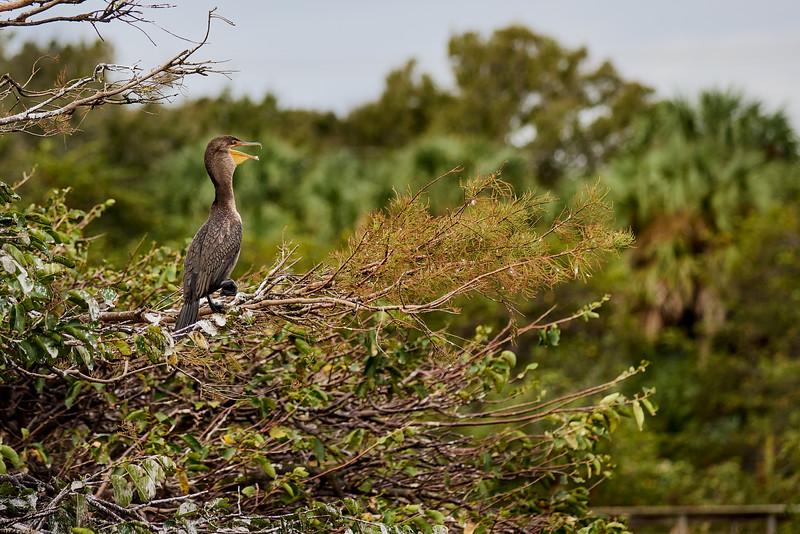 Cormorant #2