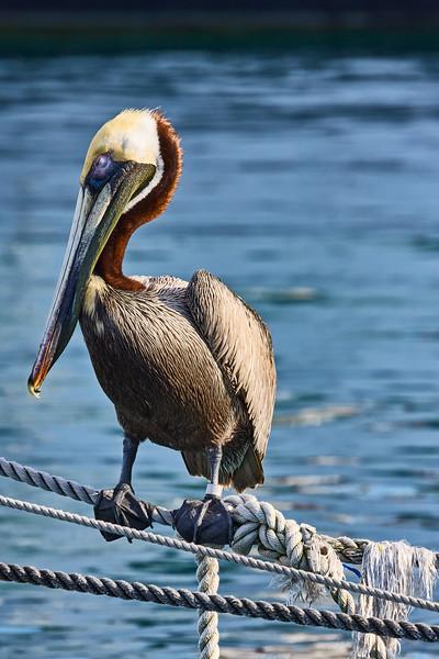 Brown Pelican Portrait #6