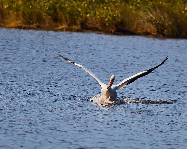 White Pelicans #3
