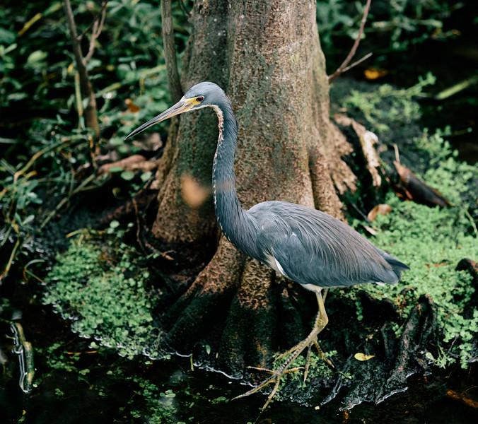 Great Blue Heron #6