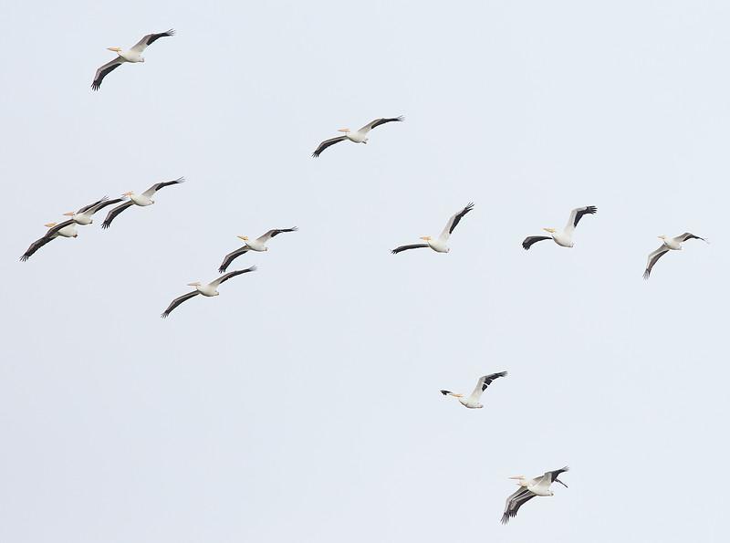 White Pelicans #4
