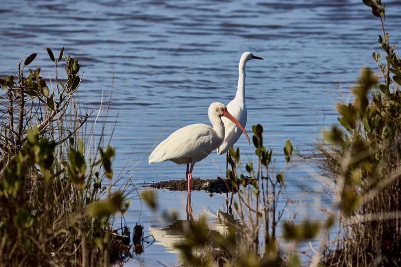 White Ibis with White Egret