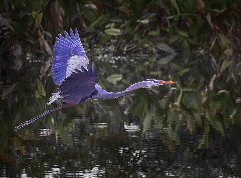 Blue Heron #4