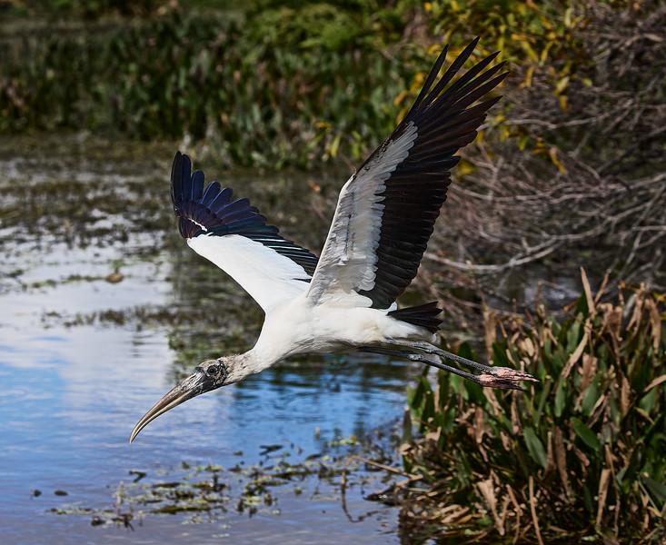 Wood Stork #6