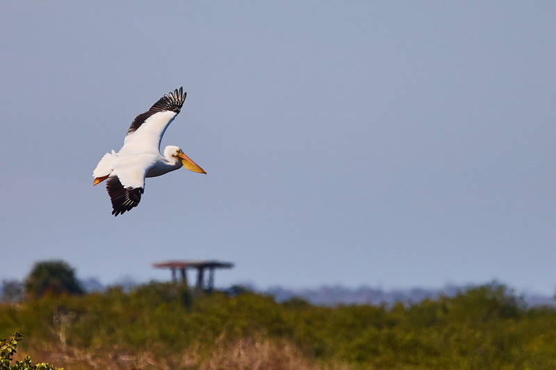 White Pelicans #2