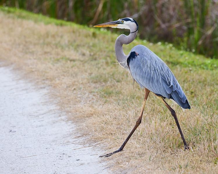 Great Blue Heron #7