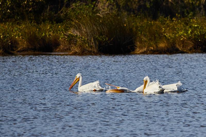 White Pelicans #1