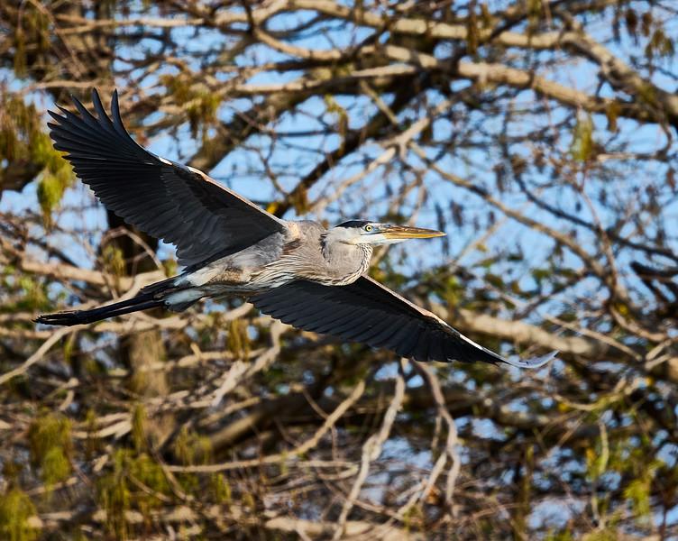 Great Blue Heron #10