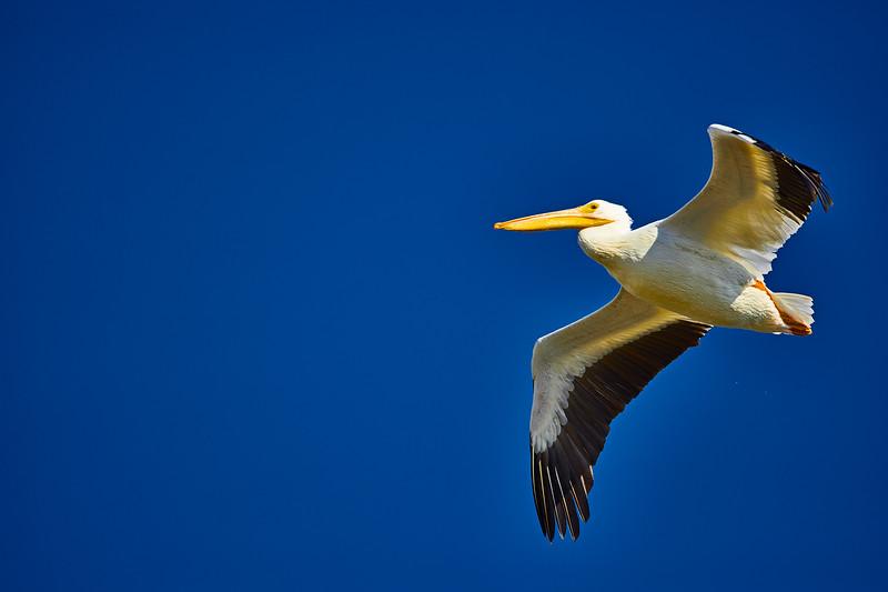 White Pelican #2