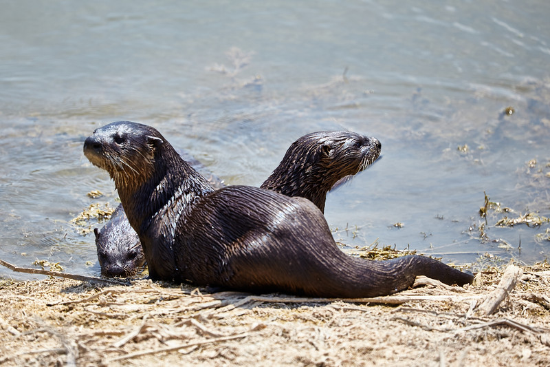 3 River Otters