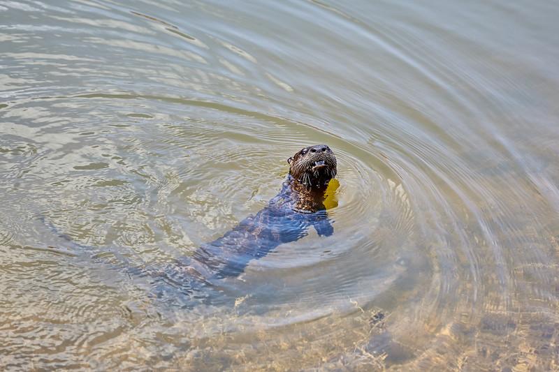 River Otter #3