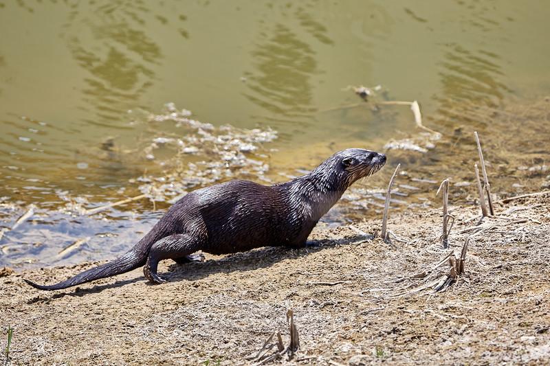 River Otter #2