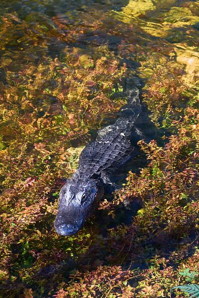 American alligator #4