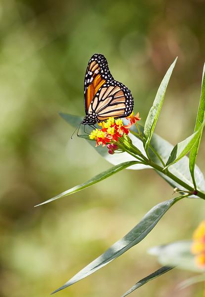 Monarch butterfly #1