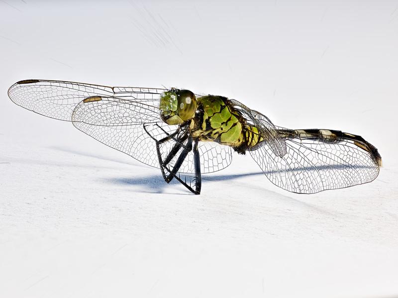 Found Dragonfly