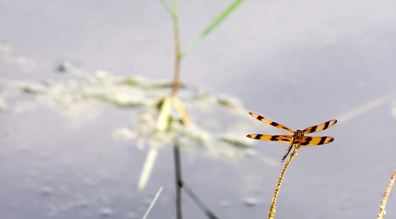 Dragon Fly Tiger