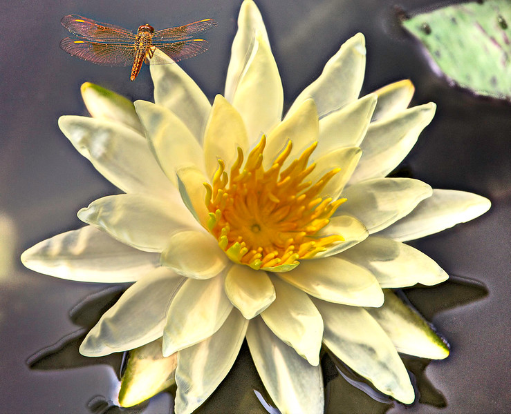 11) Lotus and Dragonfly