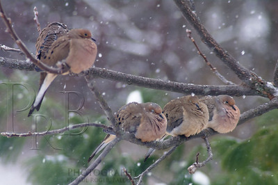 Five Mourning Doves