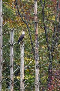 Bald Eagle Majesty