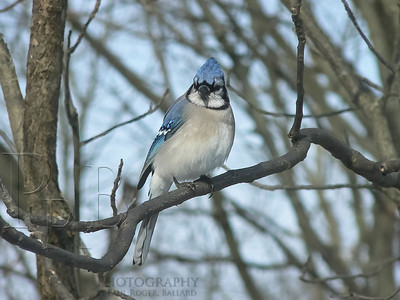 A Blue Jay in Winter