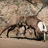 Rams Clash