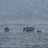 Bison Wolf Standoff
