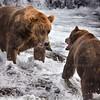 Katmai Brown Bears