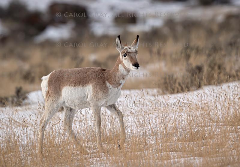 Pronghorn Yellowstone January 2020