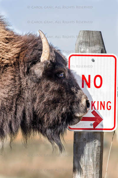 Bison Grand Tetons 2014 and 2015