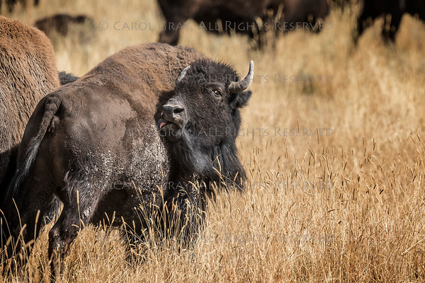 Bison and Pronghorn Gallery