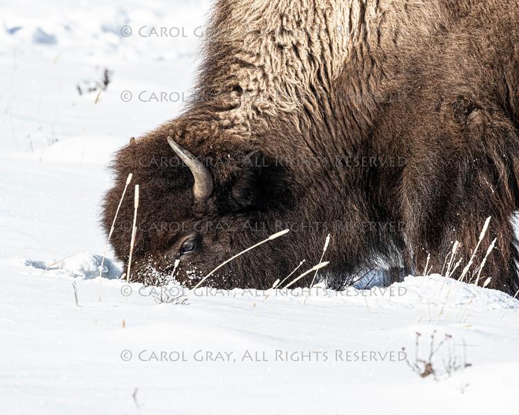 Bison Yellowstone January 2020