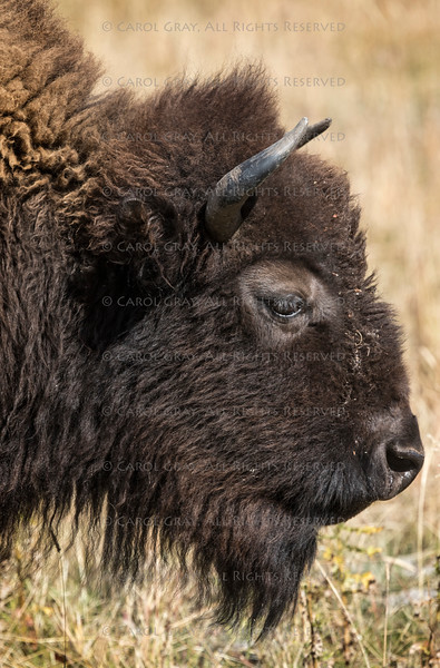 Bison Grand Tetons 2014 and 2015