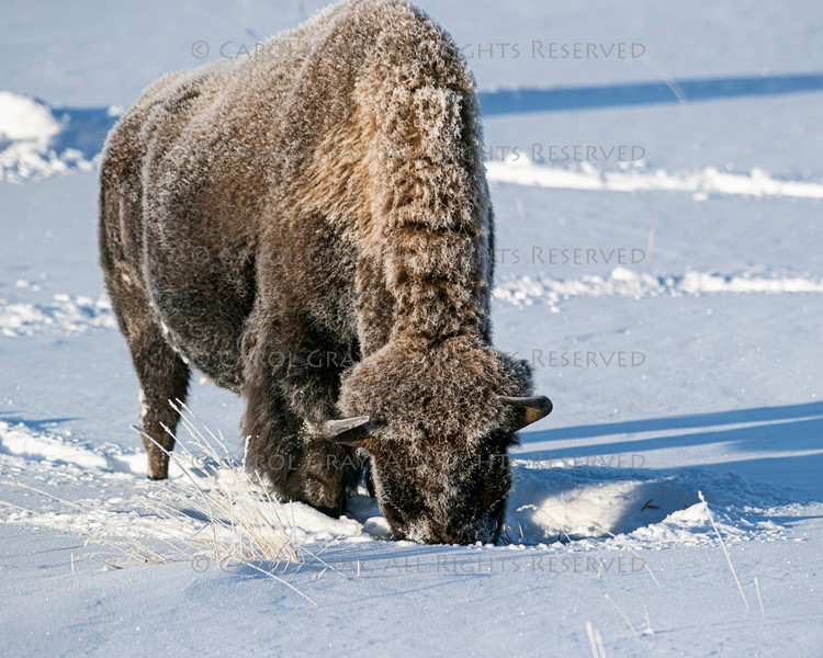 Bison Yellowstone January 2020