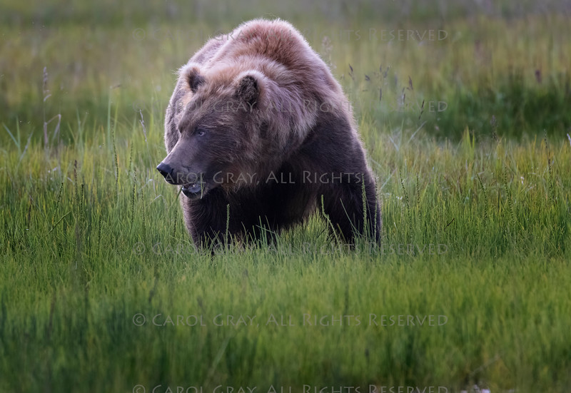 Coastal Brown Bears Alaska