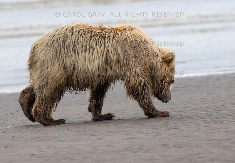 Coastal Brown Bears Lake Clark Alaska  July 2021