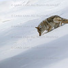 Coyote Yellowstone January 2020