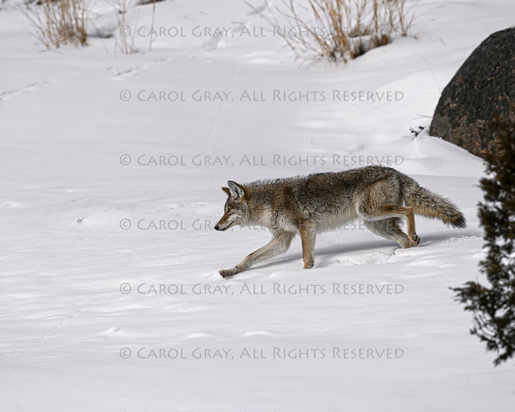Coyote Gallery