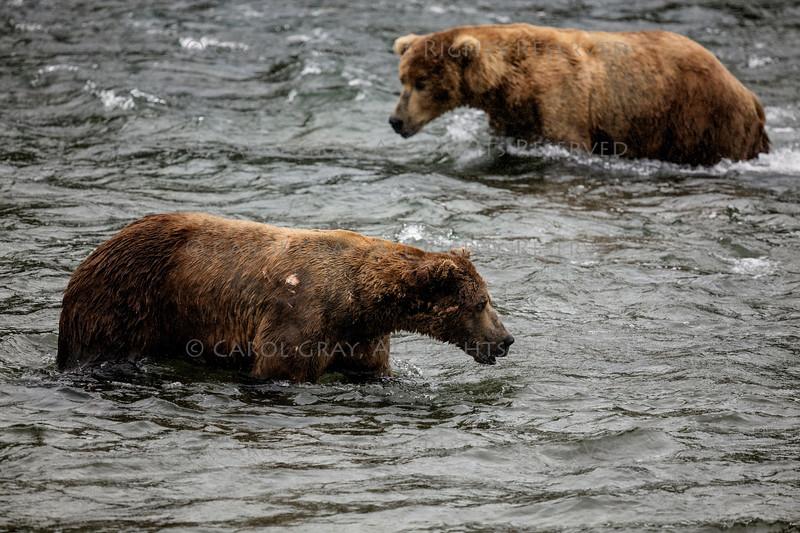 Katmai Brown Bear Gallery