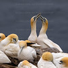 Gannets