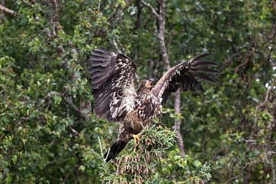 Bald Eagle Brooks Falls Alaska
