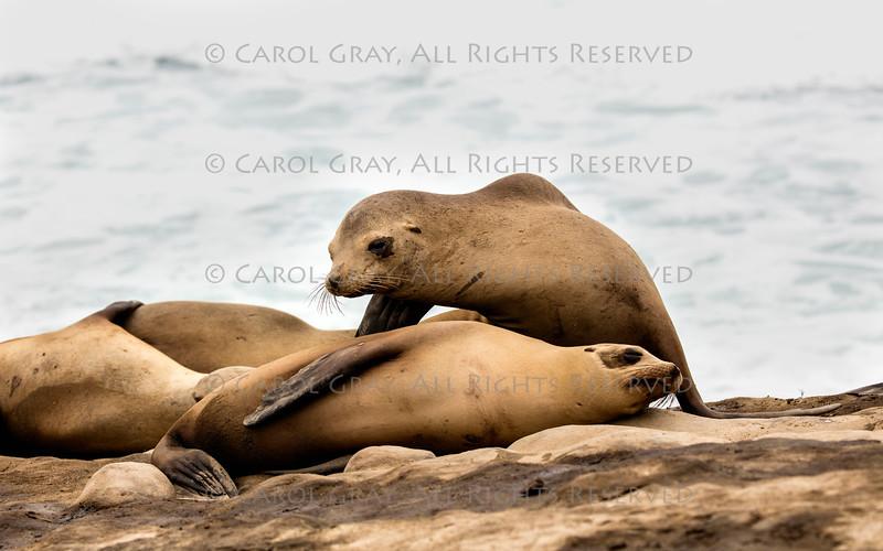 Sea Lion Gallery